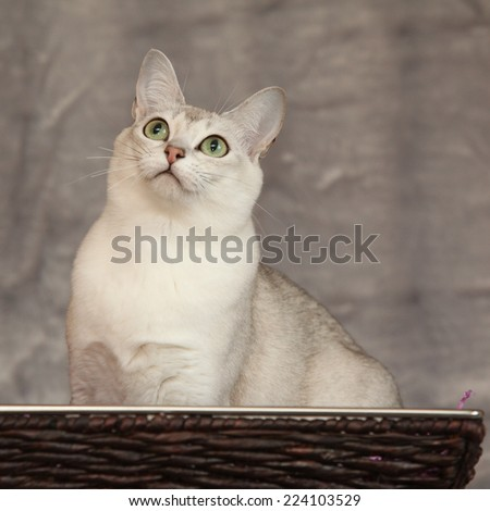 Amazing white Burmilla in front of silver blanket - stock photo