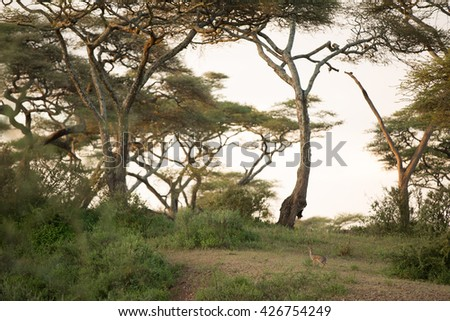 Amazing wildlife in the african savanna - stock photo