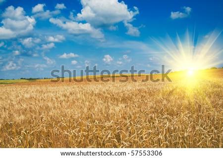 Amazing yellow field of wheat. - stock photo