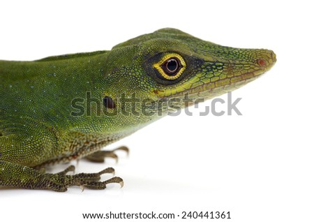 Amazon green anole (Anolis punctatus) - stock photo