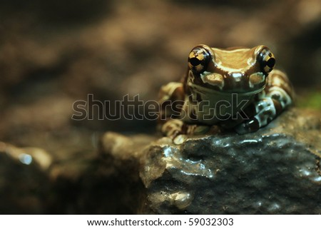 Amazon Milk Frog Sitting on a Rock With Copy Space to the Left - stock photo