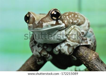 Amazon milk frog - Trachycephalus resinifictrix - stock photo