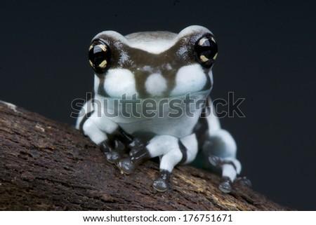 Amazon milk frog / Trachycephalus resinifictrix - stock photo