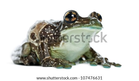 Amazon Milk Frog, Trachycephalus resinifictrix, against white background - stock photo