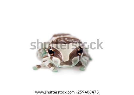 Amazon Milk Frog, Trachycephalus resinifictrix, isolated on white background - stock photo