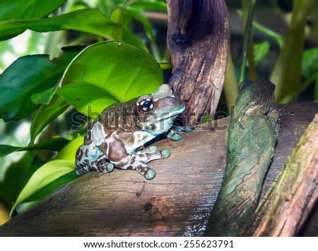 Amazon Milk Frogs (Captive Bred) - Trachycephalus resinifictrix - stock photo