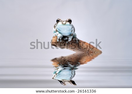 amazon milk tree frog and the reflection - stock photo