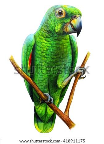Amazon Parrot drawing. Amazona farinosa. Colored pencil drawing Amazon Parrot. Classicdrawing Amazon Parrot. Detailed drawing Amazon Parrot. - stock photo