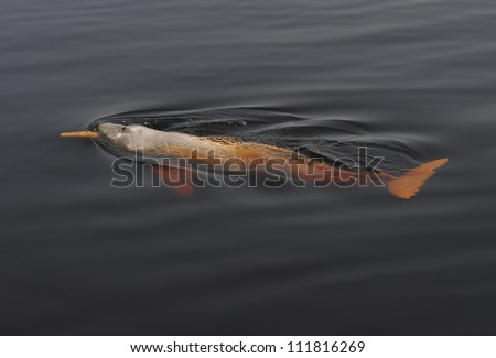 Amazon River dolphin - stock photo