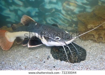 amazon sheatfish actocephalus nemioliopterus in aquarium with stone - stock photo