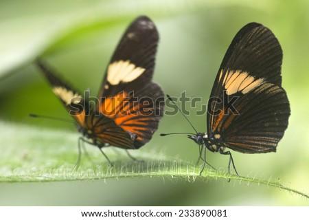 Amazonian rainforest butterfly feeding on green leaf  - stock photo