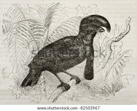 Amazonian Umbrellabird old illustration (Cephalopterus ornatus). Created by Kretschmer and Wendt, published on Merveilles de la Nature, Bailliere et fils, Paris, 1878