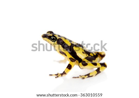 Amazons Harlequin Frog, Atelopus spumarius, on the white background - stock photo