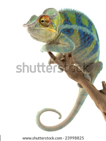 Ambanja Panther Chameleon (Furcifer pardalis) isolated on white background.