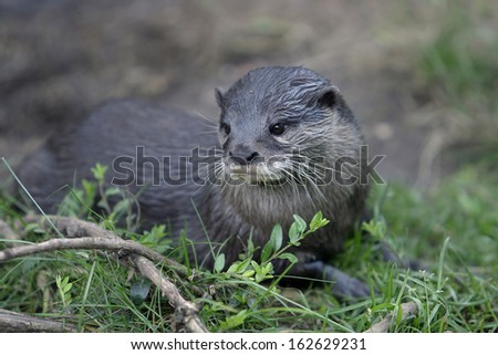 Amblonyx cinereus, Oriental small-clawed Otter, Asian small-clawed Otter
