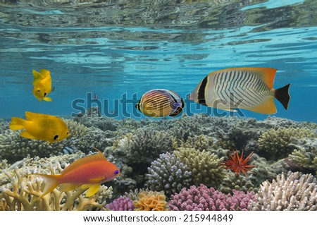 Amblyglyphidodon aureus, Golden damselfish. - stock photo