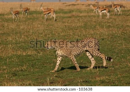 Amboseli cheetah 1,04 - stock photo
