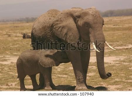 Amboseli ellis  7,04 - stock photo