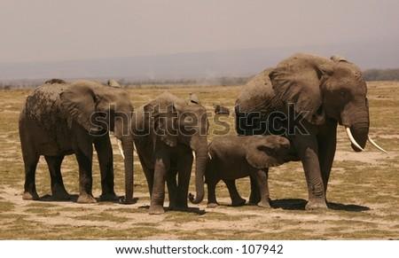 Amboseli ellis 9,04 - stock photo