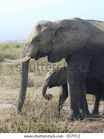 Amboseli ellis 2,04 - stock photo