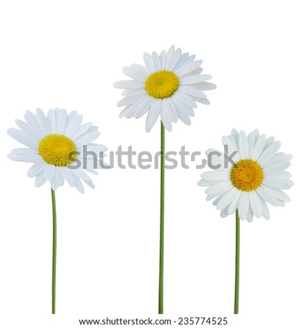 America flowers: Chamomile flowers isolated on white background  - stock photo
