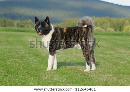 American Akita Dog - stock photo