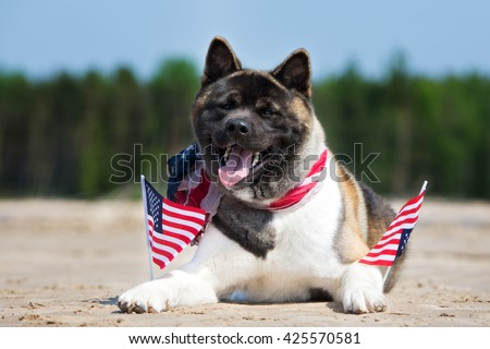 american akita dog lying down on a beach with flags - stock photo