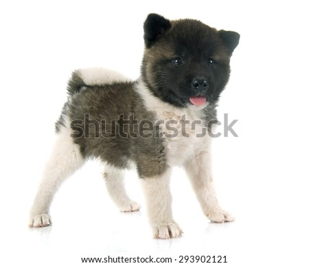 american akita puppy in front of white background - stock photo