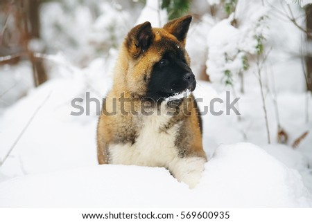 American Akita puppy staying in a snow in winter forest