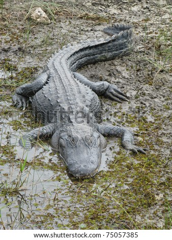 American Alligator (Alligator Mississippiensis) basking in the sun in the Florida Everglades - stock photo