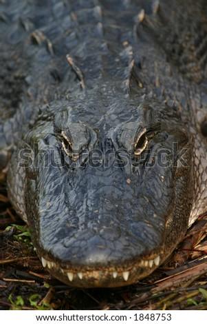 American alligator (Alligator mississippiensis), Everglades National Park, Anhinga Trail, Florida - stock photo