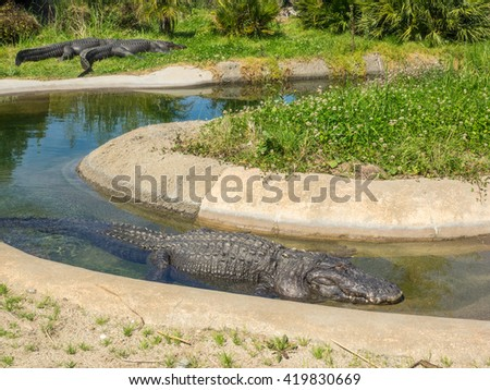 American alligator (Alligator mississippiensis) is a large crocodilian reptile endemic to the southeastern United States. - stock photo