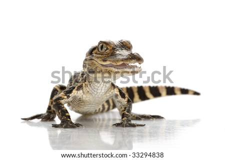 American alligator (Alligator mississippiensis) isolated on white background. - stock photo