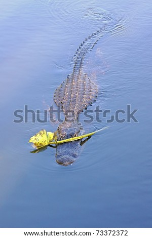 American Alligator (Alligator Mississippiensis) Recent discoveries determined that crocodilians use lures like sticks and this flower to catch prey.  - stock photo