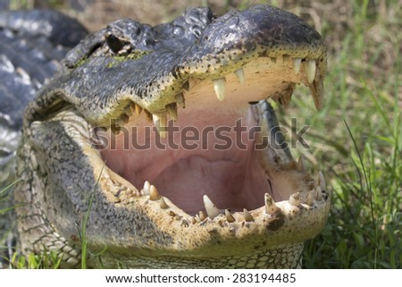 American alligator (Alligator mississippiensis) teeth, Brazos Bend state park, Needville, Texas, USA. - stock photo