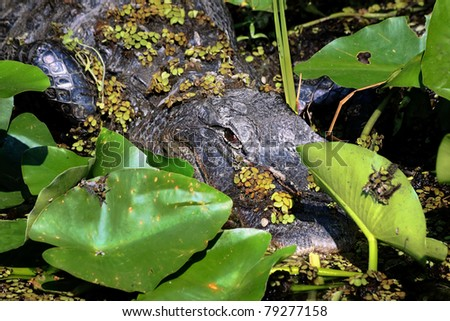 American Alligator (Alligator Mississippiensis) waiting in an ambush  in the sun in the Florida Everglades - stock photo
