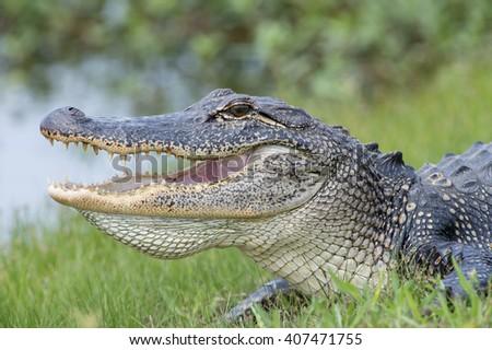 American Alligator at Cameron Prairie Pintail Drive  - stock photo