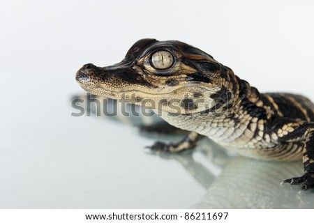 American Alligator Hatchling - stock photo