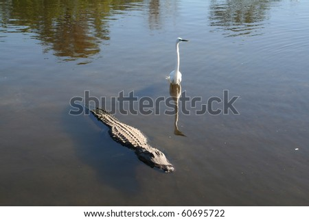 American alligator in a wildlife preserve in Florida - stock photo