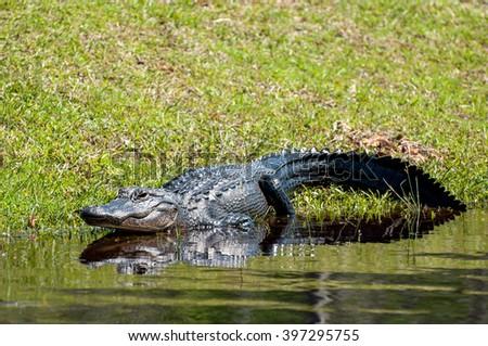 American alligator in Florida swamp. - stock photo