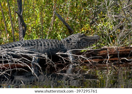 American alligator in Florida swamp.  - stock photo
