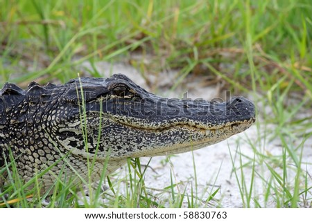 American Alligator in the Everglades, Big Cypress National Preserve