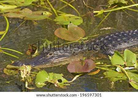 American Alligator in the Everglades in Florida - stock photo