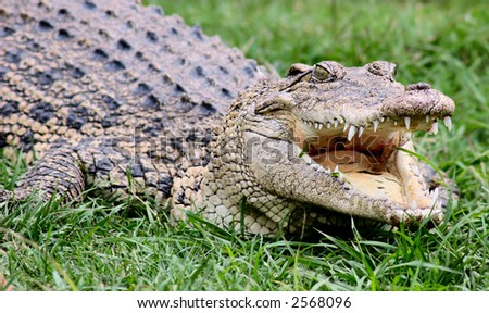 American alligator, open mouth - stock photo