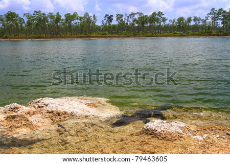 American alligator rests in a clear pond at the Everglades National Park - Florida - stock photo