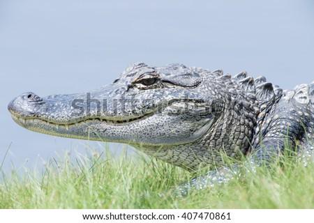 American Alligator sunning on bank in Marsh - stock photo
