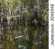 American Alligator swimming in wetland of Everglades National Park, Florida, USA. - stock photo