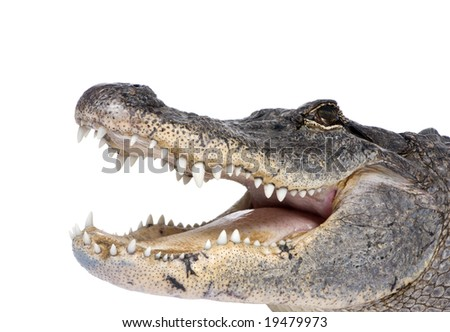 American Alligator (30 years) - Alligator mississippiensis in front of a white background