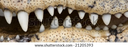American Alligator (30 years) - Alligator mississippiensis in front of a white background - stock photo