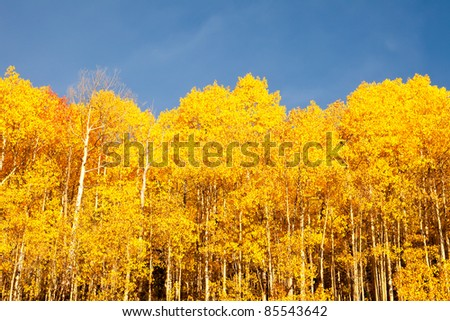 American Aspen Trees Against Blue Sky - stock photo
